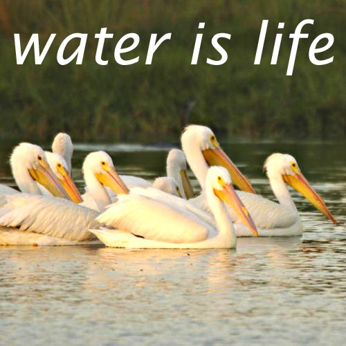 PelicansWaterIsLIfe Copy